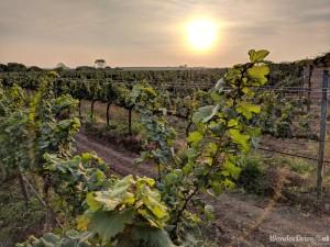 Fratelli Vineyards plantations Grapes