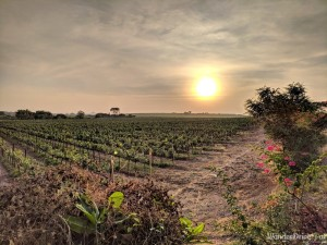 Fratelli Vineyards plantations Grapes sunset