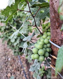 Fratelli Vineyards plantations Grapes